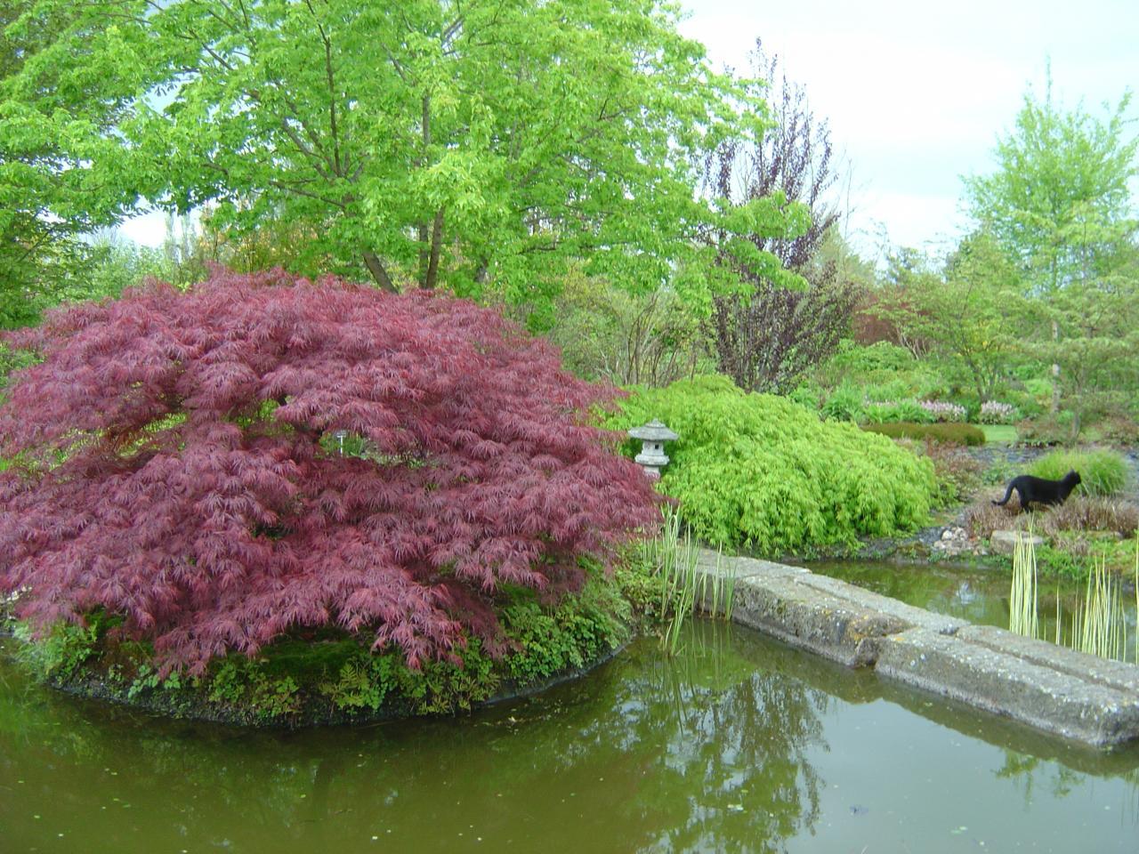 Acer palmatum dissectum et dissectum atropurpureum