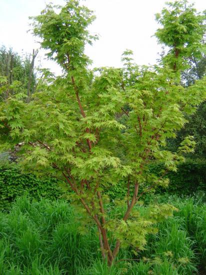 acer palmatum eddisbury