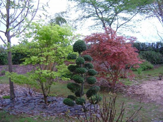 acer shirasawanum aureum et palmatum ariadne