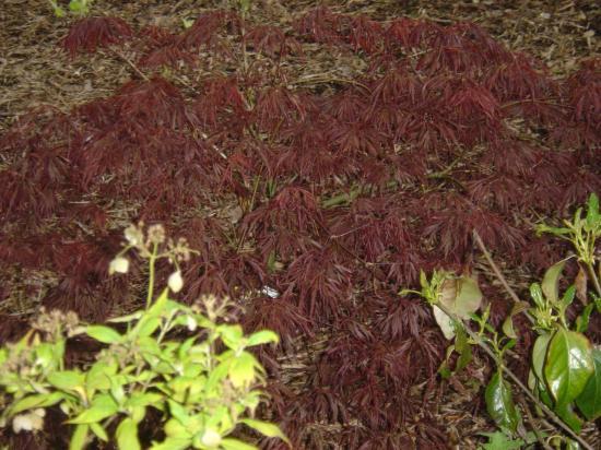 acer palmatum ankum